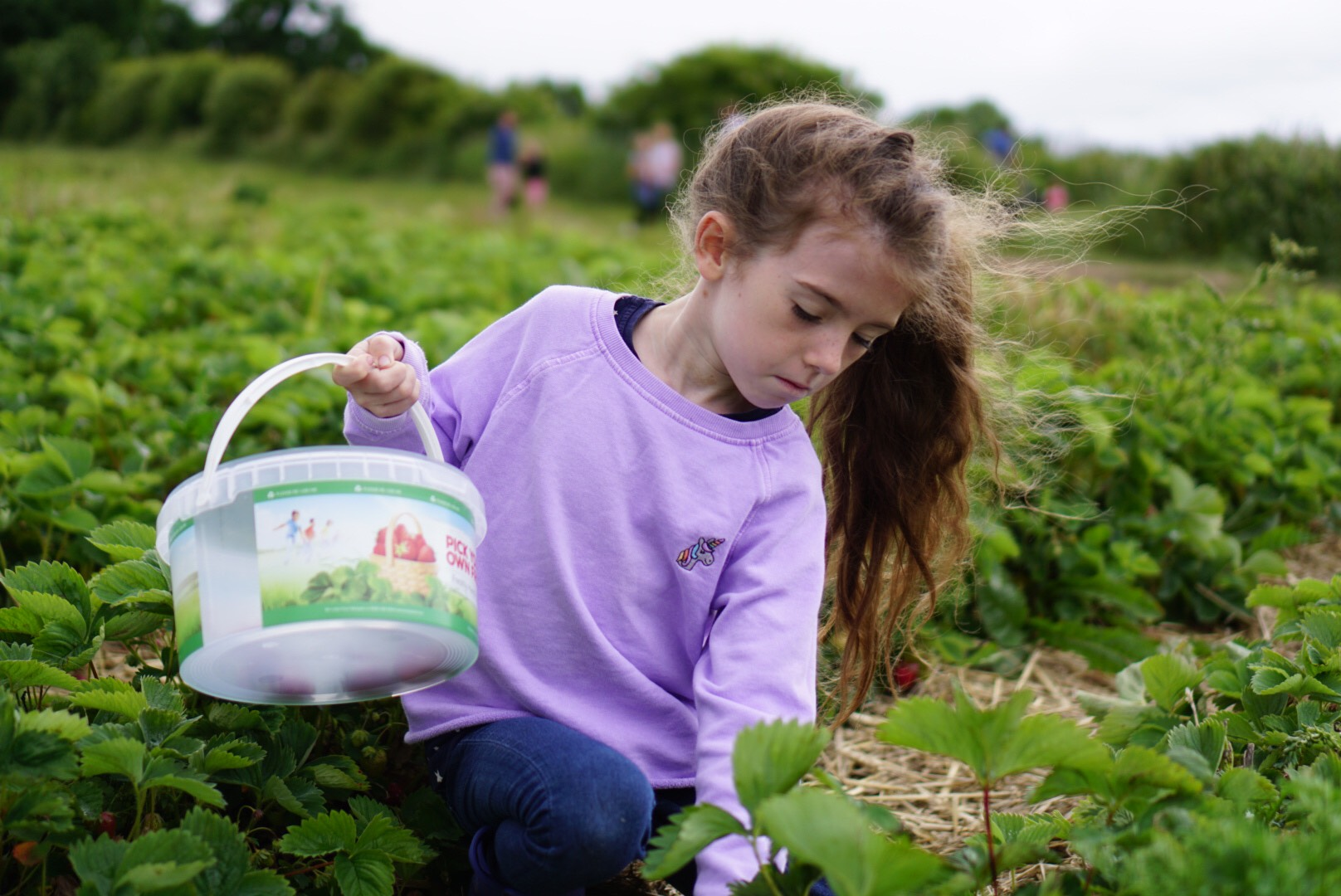 Srawberry picking at Claremont Farm